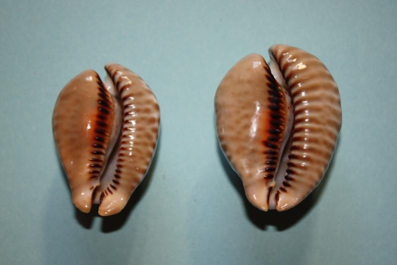 Muracypraea mus donmoorei - Petuch, 1979  Muracy18