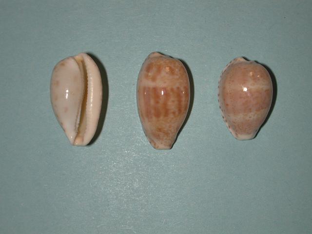 Notocypraea piperita - (Gray, 1825) Notocy10