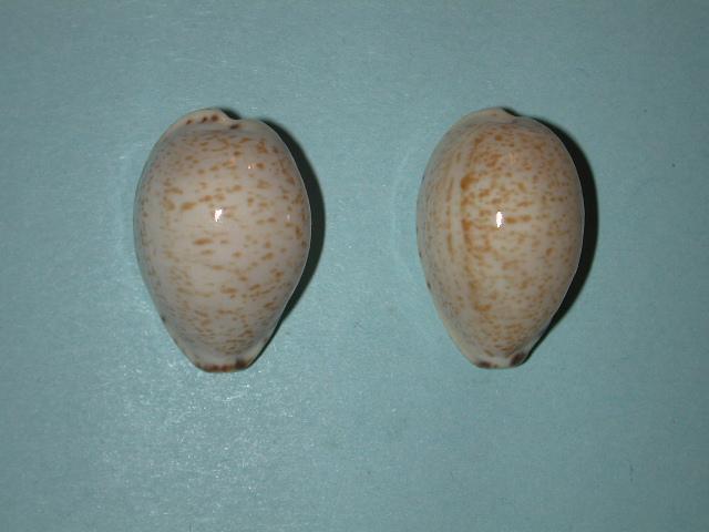 Notocypraea declivis - (G. B. Sowerby II, 1870)  Notocy30