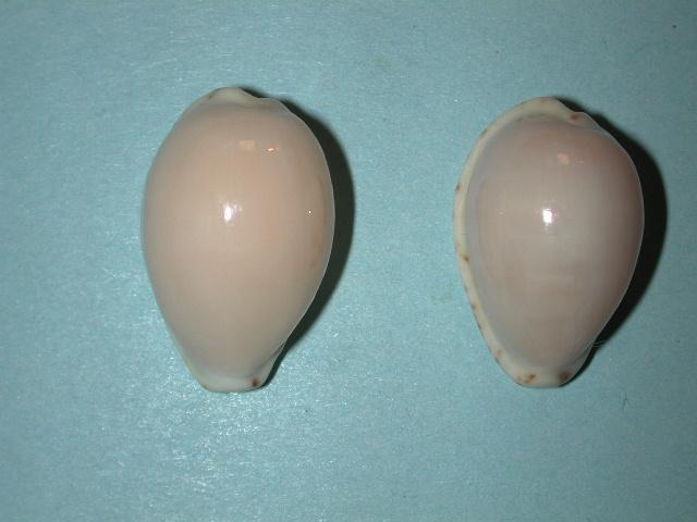 Notocypraea declivis - (G. B. Sowerby II, 1870)  Notocy32