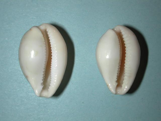 Notocypraea declivis - (G. B. Sowerby II, 1870)  Notocy33