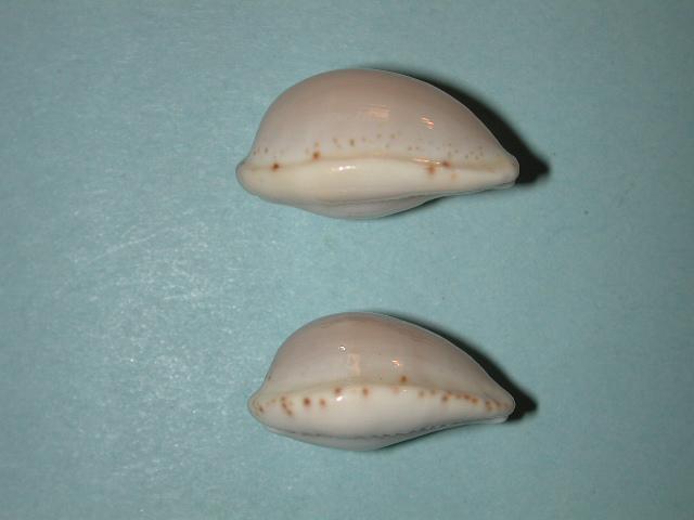 Notocypraea declivis - (G. B. Sowerby II, 1870)  Notocy34