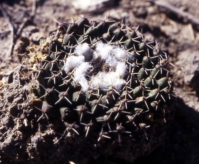 Mammillaria sempervivi ? 004-0010