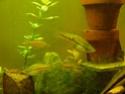 Xiphophorus helleri rio otapa Aaap1010