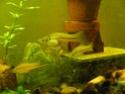 Xiphophorus helleri rio otapa Ap101010