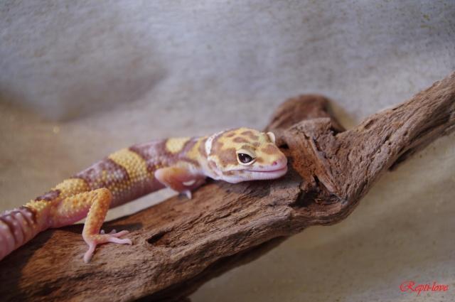 Le Gecko léopard / Eublepharis Mascularius  Imgp0810