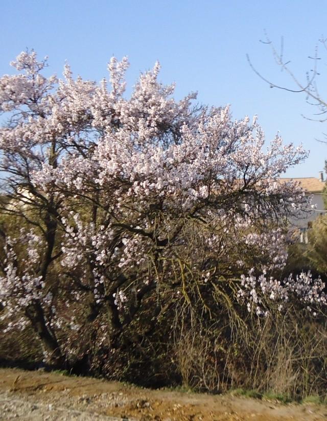 Amandier en fleurs 00146