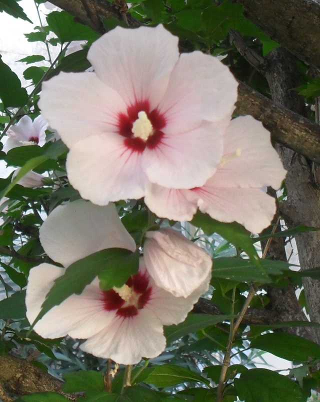 Bouturer l' Hibiscus syriacus - Page 4 00420