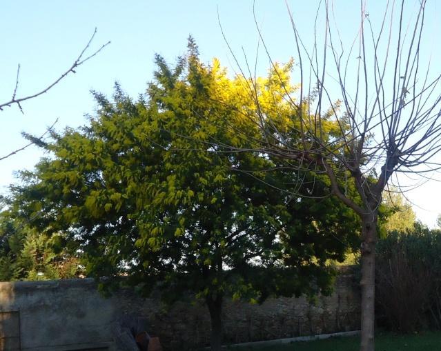 ça commence a fleurir...(Mimosa, Acacia dealbata) 00440
