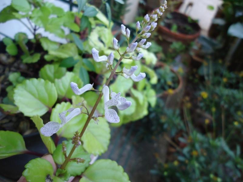 vous connaissez   Plectranthus coleoides 00521