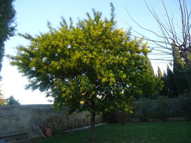 ça commence a fleurir...(Mimosa, Acacia dealbata) - Page 2 00532