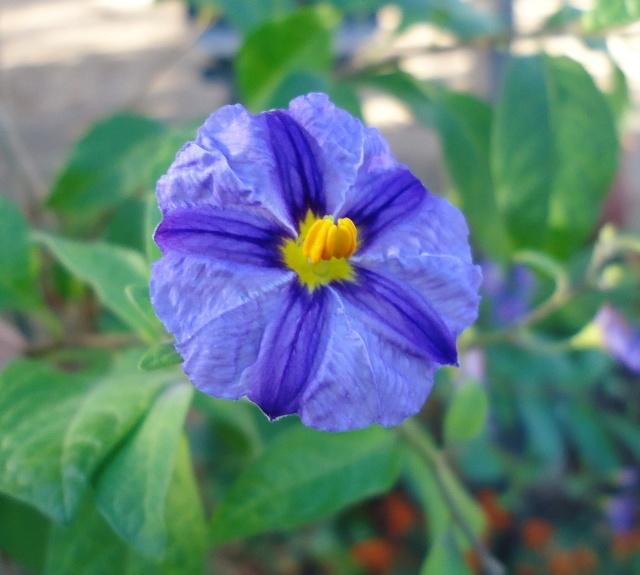 Solanum rantonetti - Page 2 00823