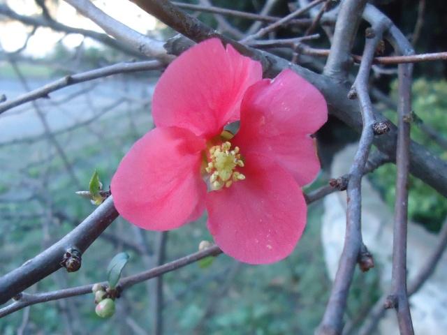 ça commence a fleurir...(Mimosa, Acacia dealbata) 01224