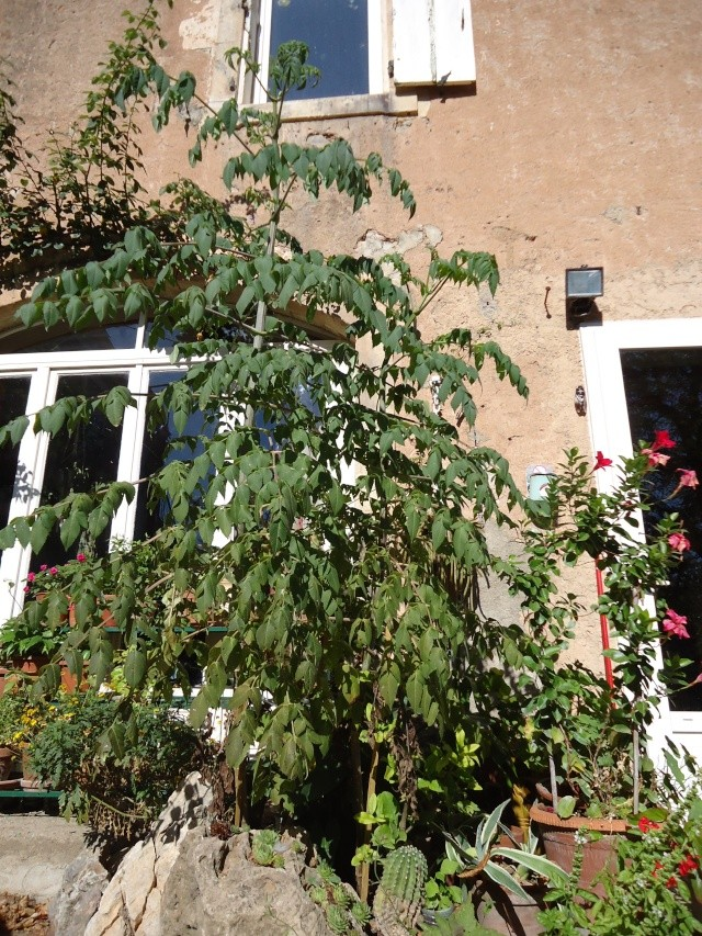 Dahlia imperialis ou Dahlia en arbre - Page 5 01622