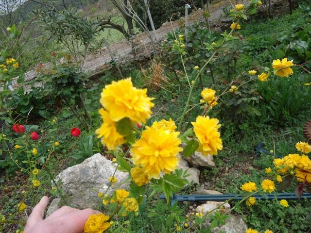 Kerria japonica 02123