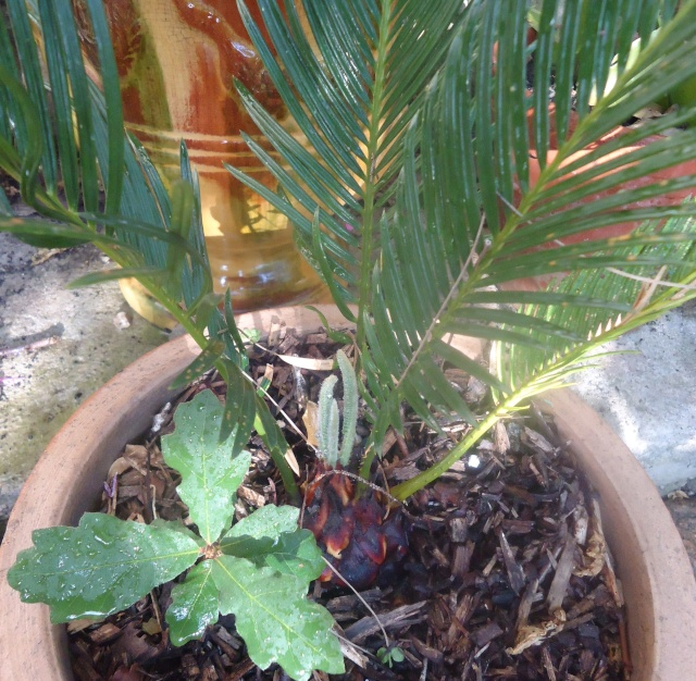 cycas - Page 2 03519