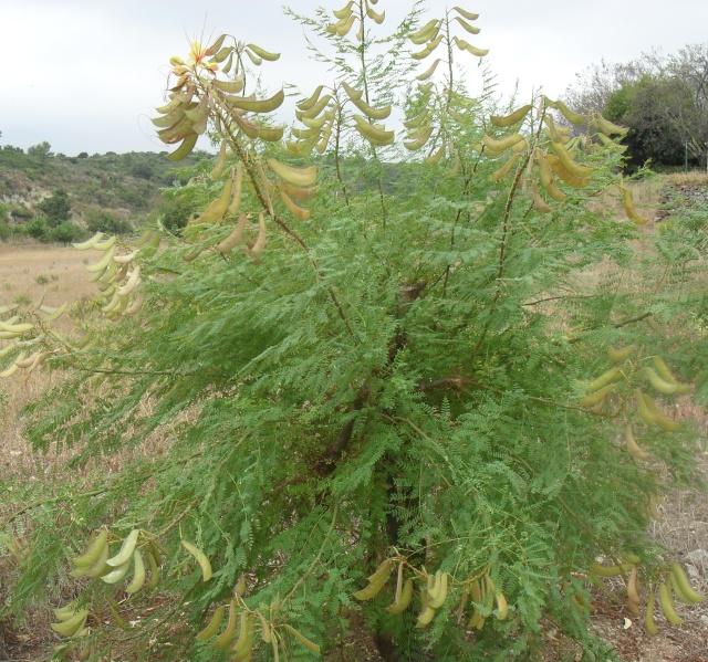 C'est un arbre, mais quoi? Caesalpinia Gilliesii , Mimosa du Japon 0381010