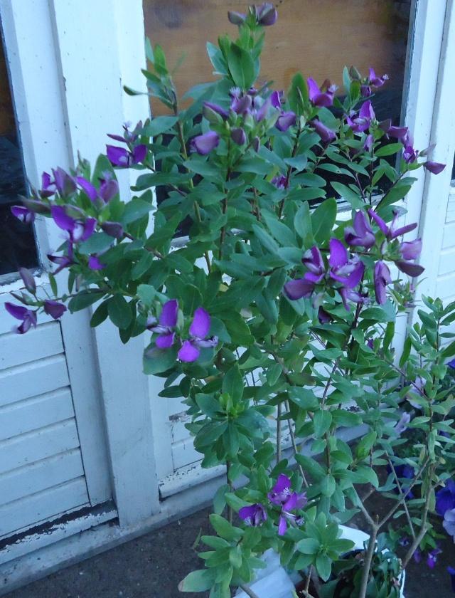 vous connaissais cette superbe plante : Polygala myrtifolia 04113