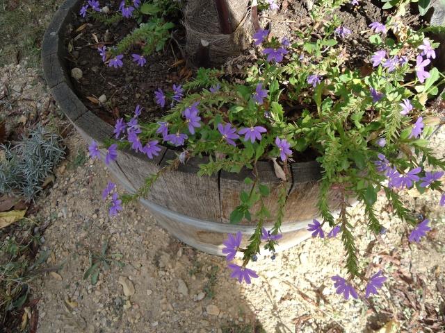 Drôle de fleur!! Scaevola aemula  13111