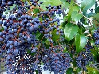 Les baies en automne (plantes sauvages ou cultivées) 20_dac10