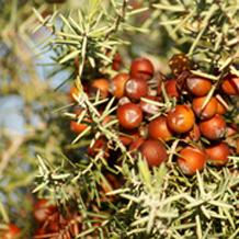 De quel espece s'agit-il? Juniperus oxycedrus Cad01110