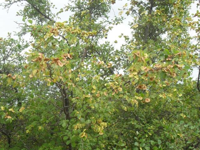 un arbre mais lequel ?l'épine du Christ (Paliurus spina-christi)  Image_16