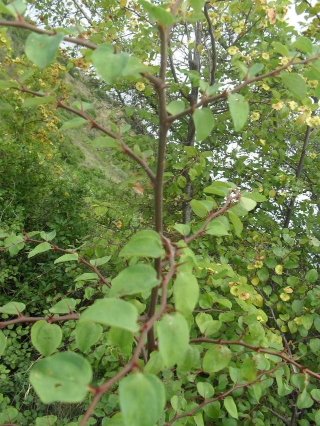 un arbre mais lequel ?l'épine du Christ (Paliurus spina-christi)  Image_19