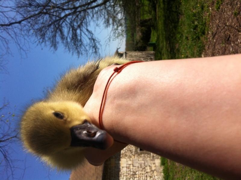 Je vais avoir des oies grises!!!! Photo_10