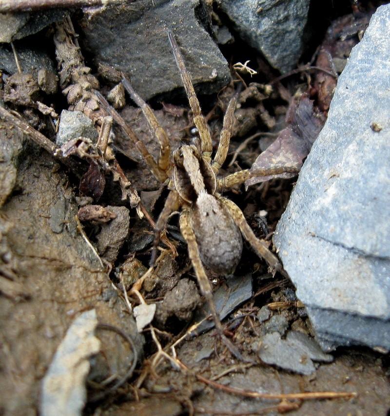 Herping serpents, salamandre, insecte et arachnide de chez nous. 01411