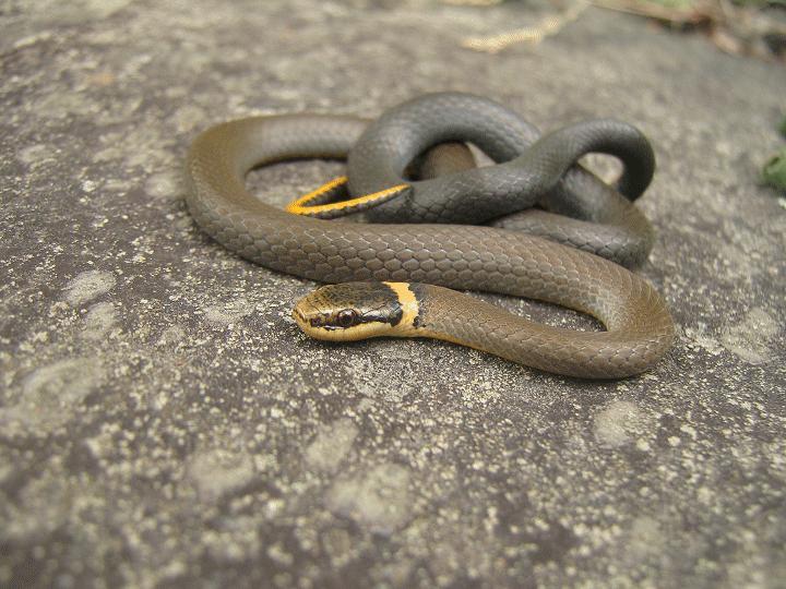 Herping serpents, salamandre, insecte et arachnide de chez nous. Picea_10