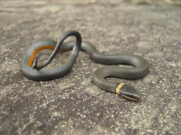 Herping serpents, salamandre, insecte et arachnide de chez nous. Piced_10