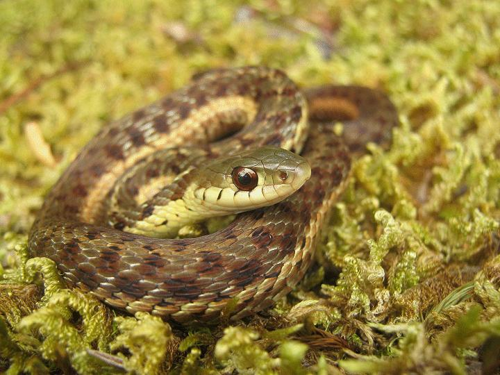 Herping serpents, salamandre, insecte et arachnide de chez nous. Picef_10