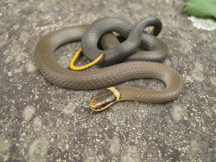 Herping serpents, salamandre, insecte et arachnide de chez nous. Picf0_10