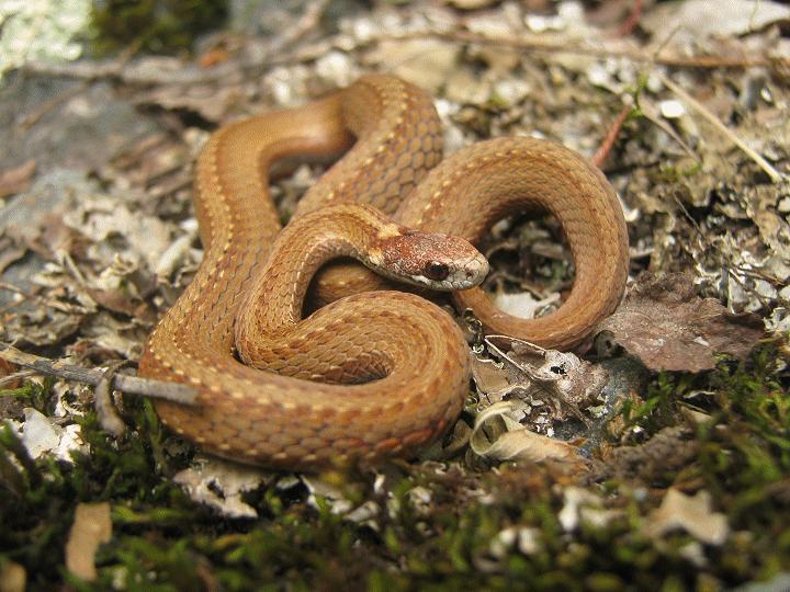 Herping serpents, salamandre, insecte et arachnide de chez nous. Picf1_10