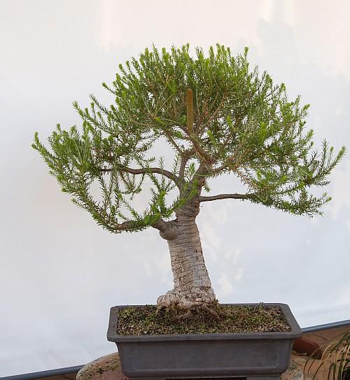 Development of Banksia ericifolia 200910