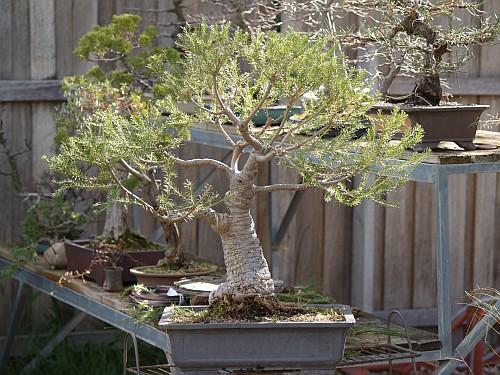 Development of Banksia ericifolia 201010