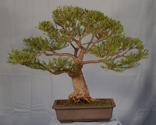 Development of Banksia ericifolia 201110