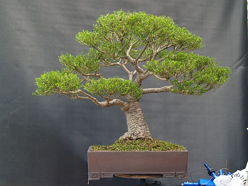 Development of Banksia ericifolia 201211