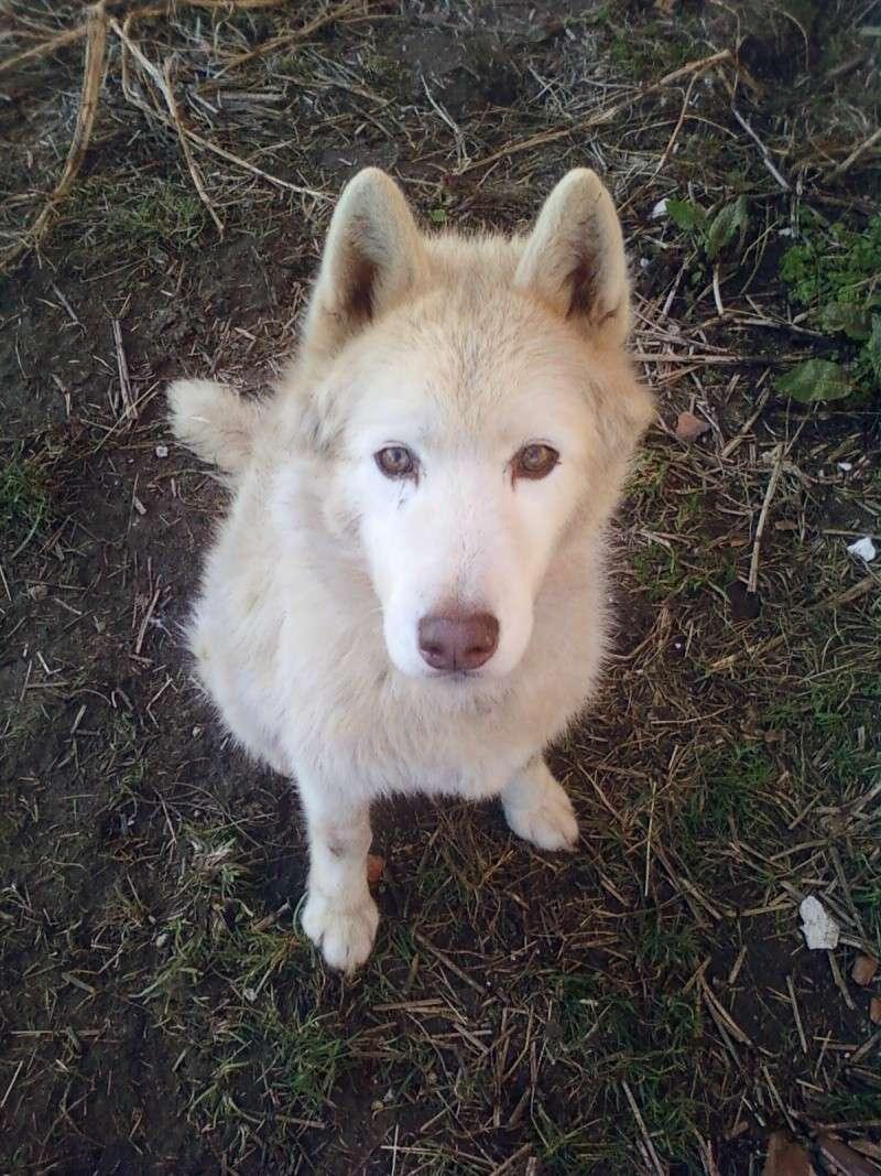 NOYAK siberian husky roux 28/10/97 16 ans REF:76  DECEDE Photo-10