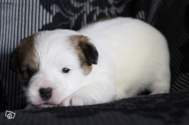 chiot jack russell LOF 112