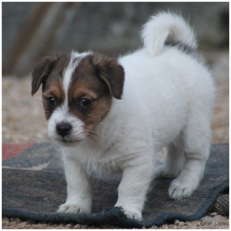 chiot jack russell LOF 117