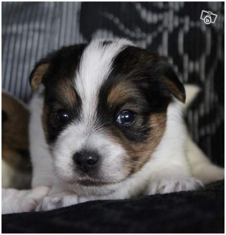 chiot jack russell LOF 212