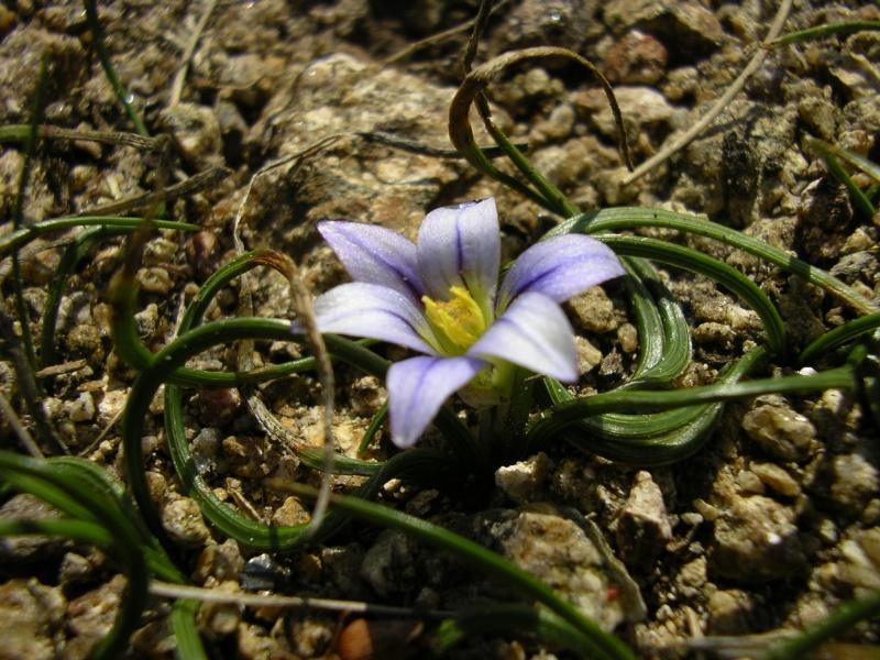 Jolie petite fleur (Romulea columnae) Imgp0010