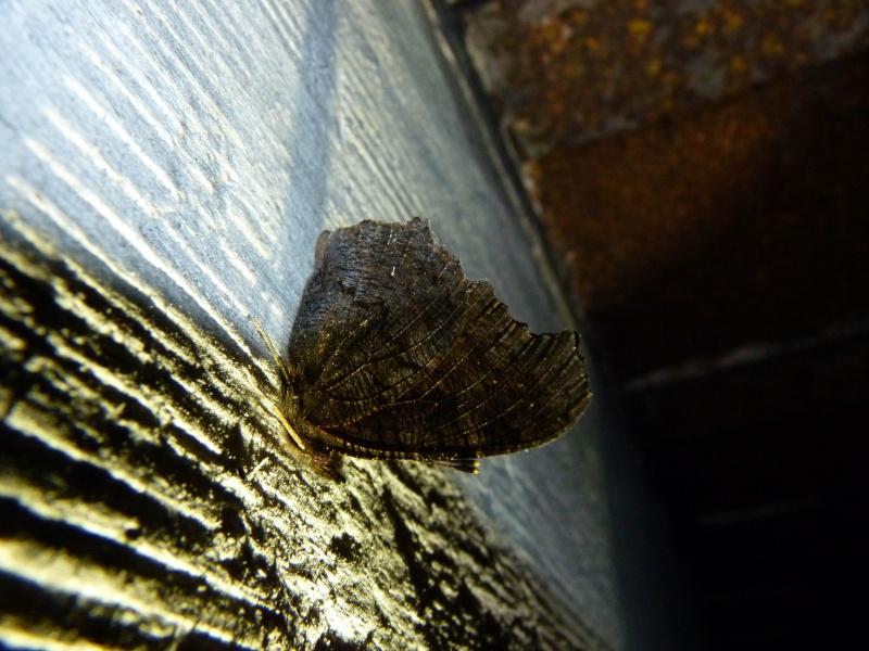 Papillons des bunkers (Prospection d'Hiver) PDF P1000710