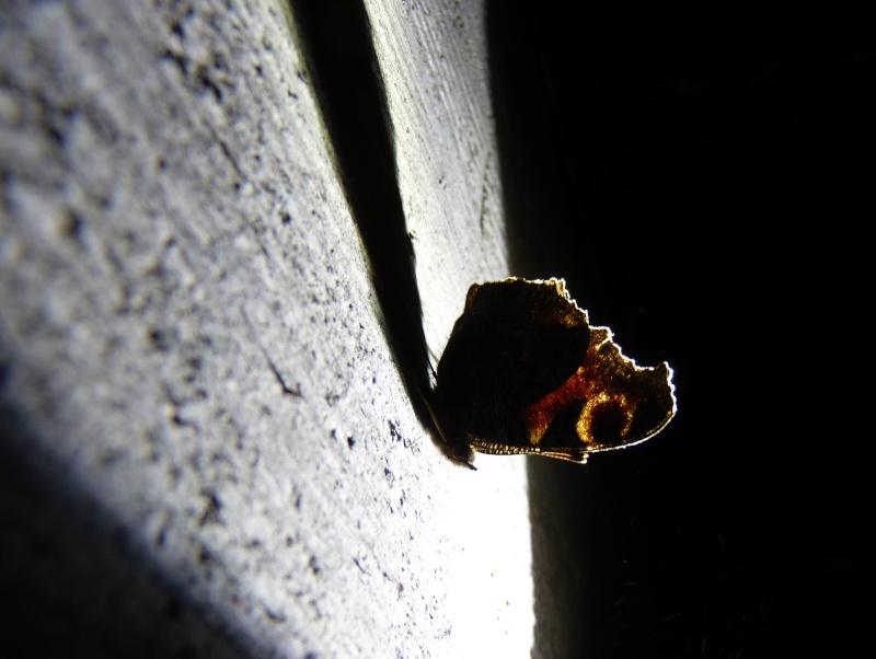 Papillons des bunkers (Prospection d'Hiver) PDF P1000711