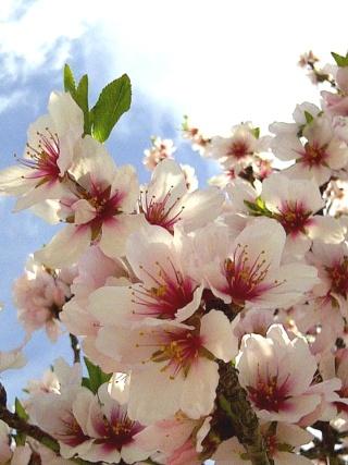 Amandier en fleurs Amandi10