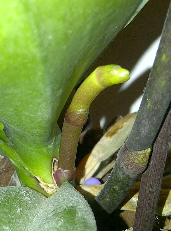 Phalaenopsis - Page 20 Gargas11