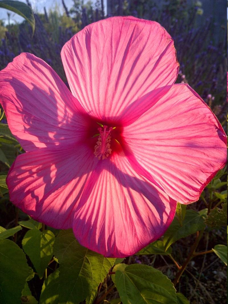 hibiscus a fleur géante:Hibiscus moscheutos cv disco - Page 5 Img-2012