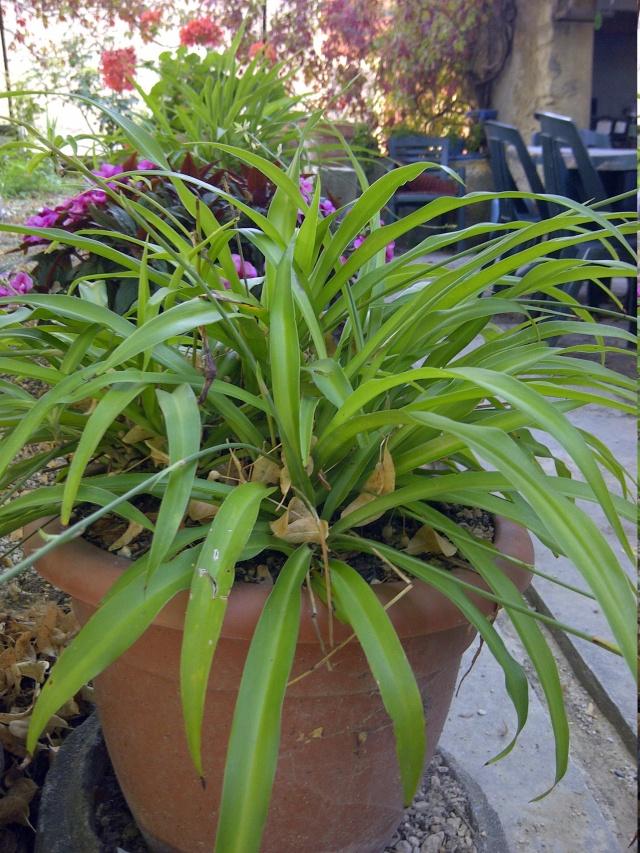 Chlorophytum ou plante araignée  Img-2035