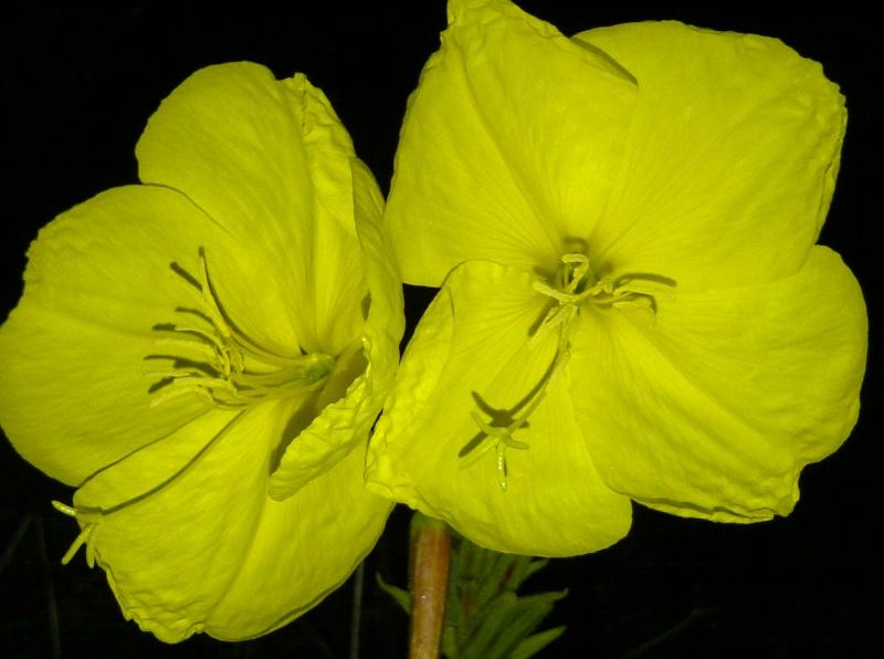 Oenothera biennis  - Page 5 Onagre10